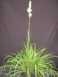 Polianthes tuberosa 'Double',Tuberose.