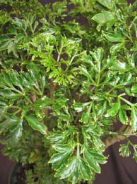 Polyscias fruticosa 'Elegans' , Parsley Aralia