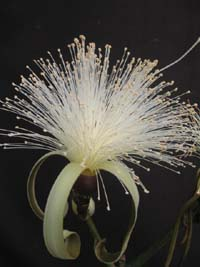 Pseudobombax ellipticum ' Alba ' , White Shaving Brush Tree