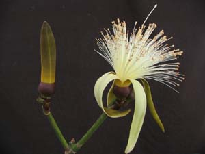 Pseudobombax ellipticum ' Alba ' , White Shaving Brush Tree (bud and flower)