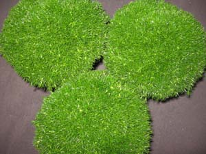 Sagina Subulata Irish Moss