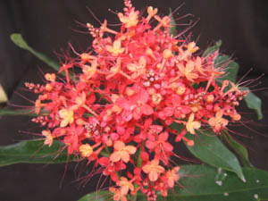 Saraca declinata, Sorrowless Tree