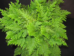 Selaginella Emmeliana Spike Moss