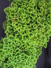 Selaginella Apoda Meadow Spike Moss