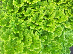 Selaginella 'Queen of Siam'