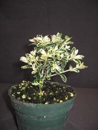 Serissa foetida 'Mt. Fuji', Variegated Snow Rose.