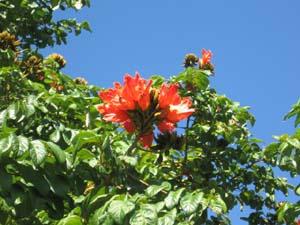 Spathodea Campanulata African Tulip Tree