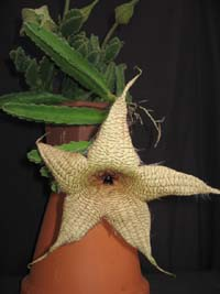 Stapelia gigantea, Carrion Flower