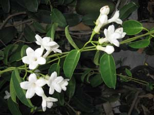 Stephanotis floribunda, Bridal bouquet