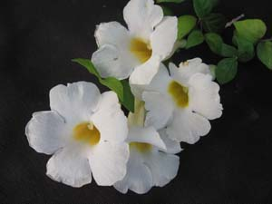 Thunbergia erecta 'Alba', White King's Mantle.