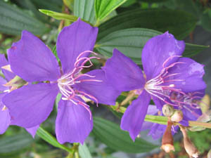 Tibouchina granulosa, Purple glory tree
