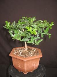Triphasia trifolia, Limeberry.