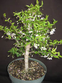 Wrightia religiosa 'Single'