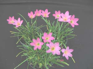 Zephyranthes sp. 'Bruxitas'