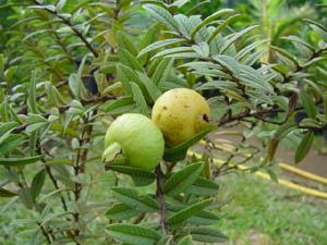 Psidium guajava 'Nana' , Dwarf Guava