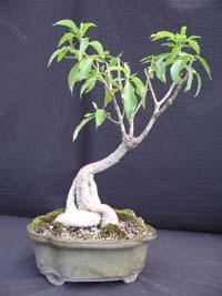 Gardino Nursery Rare Flora