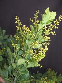 Gardino Nursery : Rare Flora