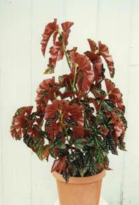 Begonia Cracklin Rosie Angel Wing