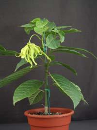 Cananga Odorata Fruticosa Dwarf Ylang Tree