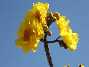 cochlospermum vitifolium florepleno double flower
