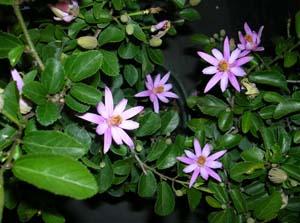 Grewia Caffra Lavender Star Flower
