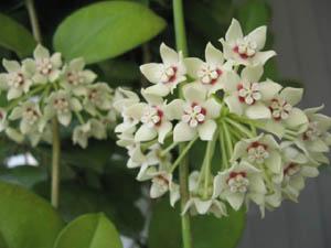 Hoya Australis Ssp Tenuipes