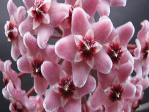 Hoya carnosa dark pink flowers mightylinksfo