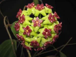 Large Selection Of Hoyas