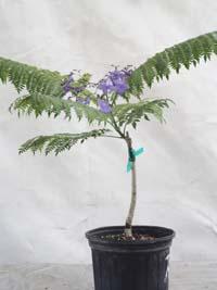 Jacaranda Cuspidifolia Fairchild Rare Grafted Jacaranda