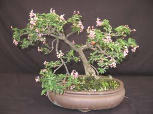 Malpighia Punicifolia Dwarf Barbados Cherry