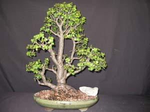 Portulacaria Afra Elephant Plant Mini Jade
