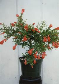 punica granatum 39 nana 39 dwarf pomegranate. Black Bedroom Furniture Sets. Home Design Ideas