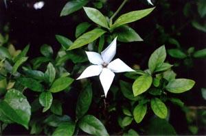 Randia Formosa Gardenia Maritime Mussaenda Formosa