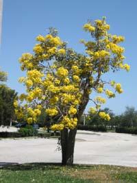 Tabebuia Caraiba Silver Trumpet Tree