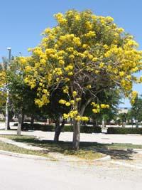 Tabebuia caraiba, Silver Trumpet Tree