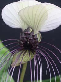 Tacca integrifolia white bat flower white bat flower mightylinksfo