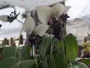 Tacca integrifolia white bat flower mightylinksfo