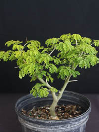 Pithecellobium Tortum Brazilian Rain Tree